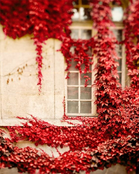 Gorgeous autumn red climbing vines on pale home #redandwhite #climbingvines