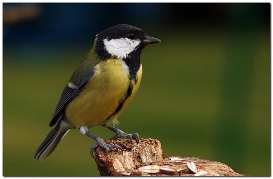 M sange charbonni re naturepassion oiseaux de nos for Oiseaux de nos jardins en belgique