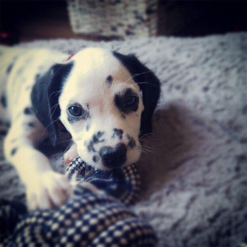 Dalmatian Puppy: Pixel Gutenberg Bartlett