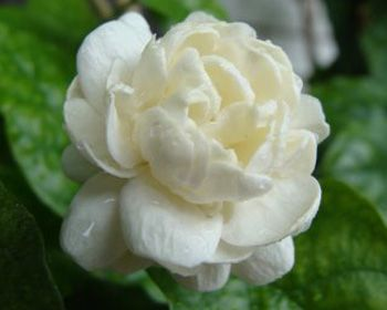 chameli flower english name - Google Search