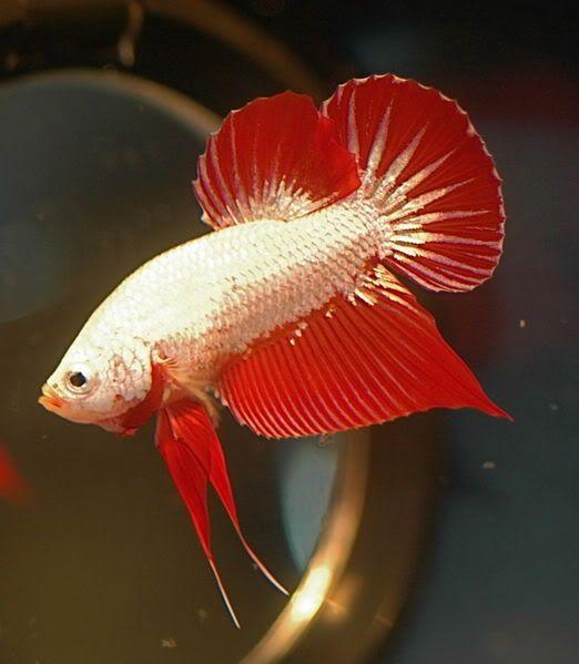 Red Dragon Halfmoon Plakat Male Betta ปลาก ด