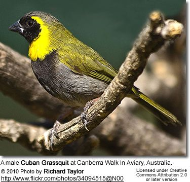 A male Cuban Grassquit at Canberra Walk In Aviary, Australia.