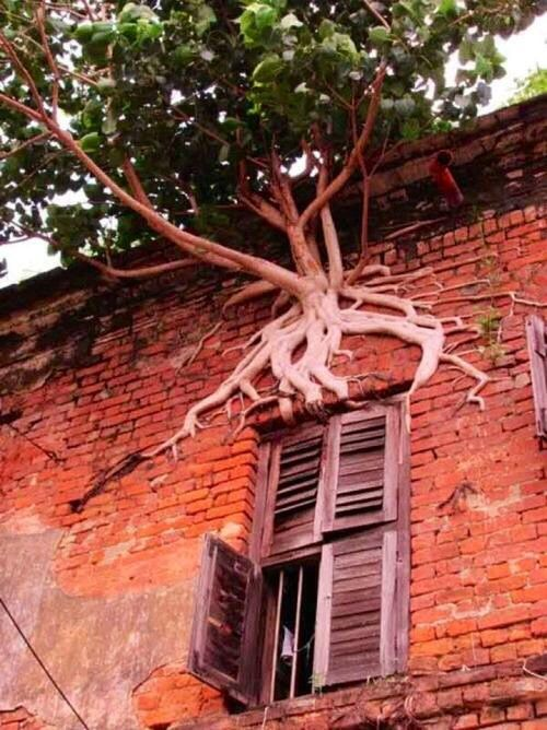 This is the Peeping Tom tree.