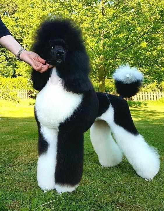 The Expression Goon With A Heart Of Gold Is Possibly The Very Best Description One Can Offer Rottweilers Like Any Poodle Puppy Dog Grooming Poodle Grooming