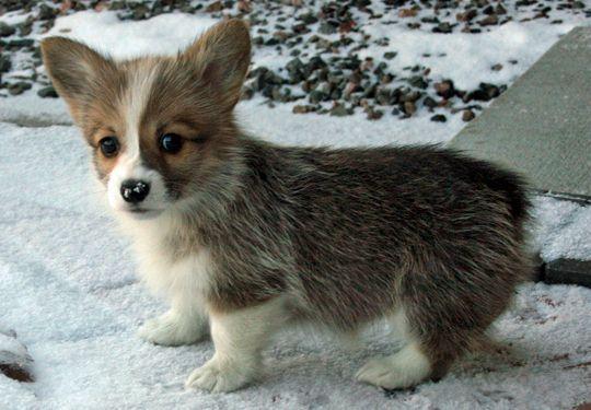 Corgie puppy :)