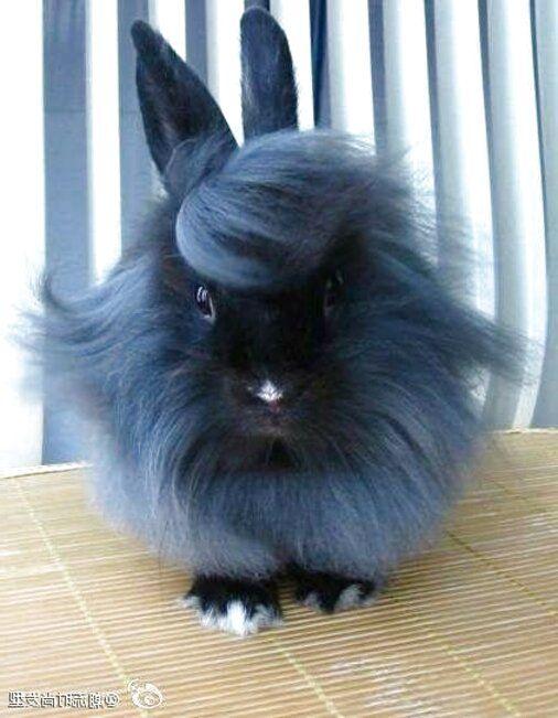 Long Haired Bunnies In 2020 Cute Baby Bunnies Long Hair Styles