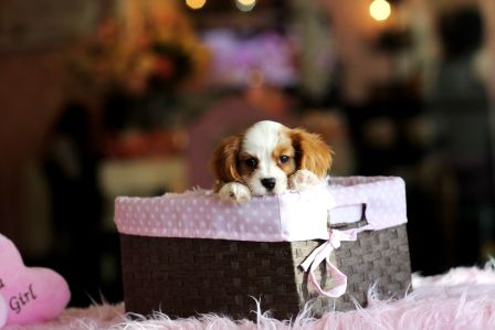 ♥♥♥ Mini Cavalier! ♥♥♥ Bring This Perfect Baby Home Today! Call 954-353-7864 www.TeacupPuppies... ♥ ♥ ♥ TeacupPuppiesStore - Teacup Puppies Store Tea Cup
