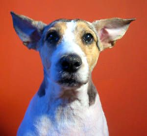 Corn Oil For Ear Mites In Dogs