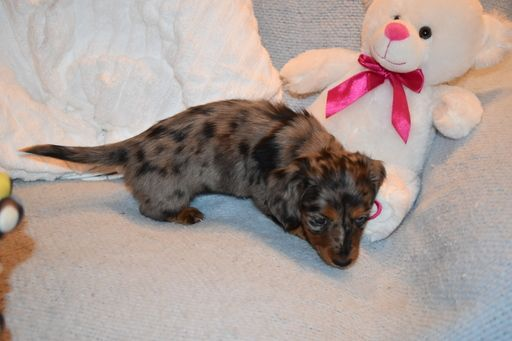 Dachshund Puppy For Sale In Benton Ar Adn 58647 On Puppyfinder