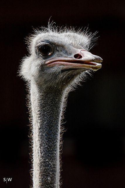Ostrich | animals | Pinterest | Bird, Ostriches and Look alike