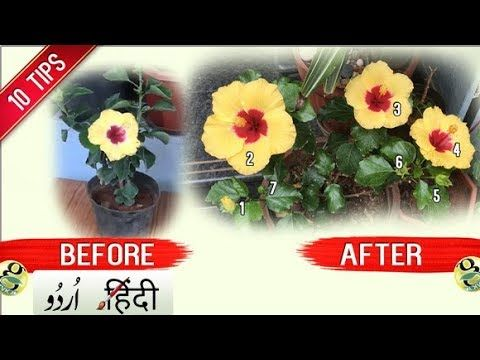 How To Get More Flowers In Hibiscus Plant 10 Tips Bloom Boost Garden Tips And Tricks Hindi Urdu Youtube In 2020 Hibiscus Plant Gardening Tips Plants