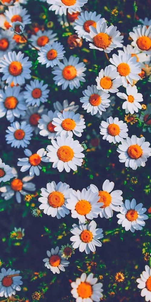 Beautiful Wallpaper Chamomile Wallpaper Myfavwallpaper