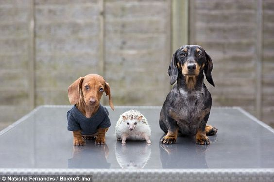 Dachshunds Maya (right), Peanut (left) and Minnie the Hedgehog (centre)are one very happy ...