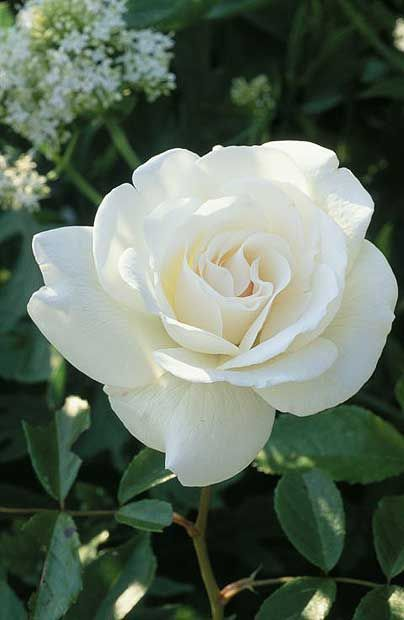 White Rose: The symbol of purity, innocence, sympathy, and spirituality.: