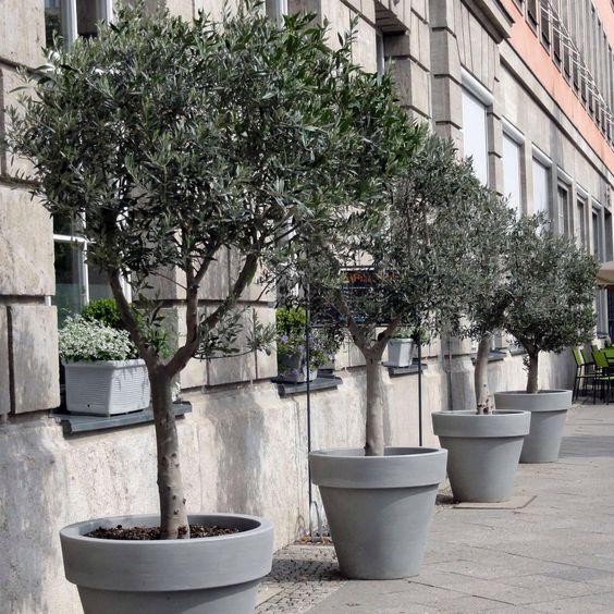 Die Macht der Reihung hilft dem Fremdling, sich wohl zu fühlen. Schön auch, wie das grau der Töpfe mit dem, Laub der Olivenbäume (Olea europaea) harmoniert.