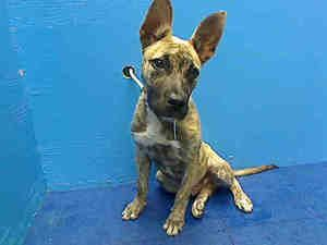 SUBWAY is an adoptable Catahoula Leopard Dog Dog in Brooklyn, NY.  ...
