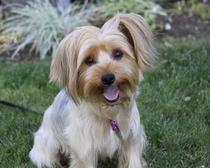 SHILOH is an adoptable Yorkshire Terrier Yorkie Dog in Newport Beach, CA. You may meet and apply to adopt Shiloh at our ADOPTION EVENT on SATURDAY, SEPTEMBER 14th from 12 Noon - 3:00 at PETCO in IRVIN...