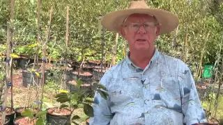 how to prune a young persimmon tree - YouTube
