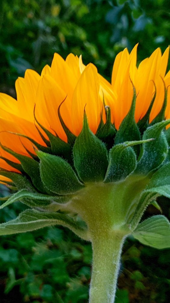 Sunflower, bud, bloom, 720x1280 wallpaper