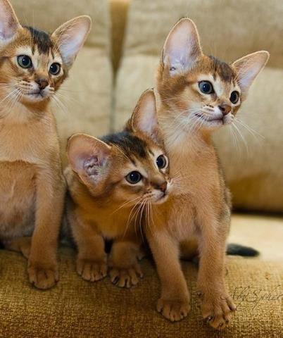 Abyssinian kittens: