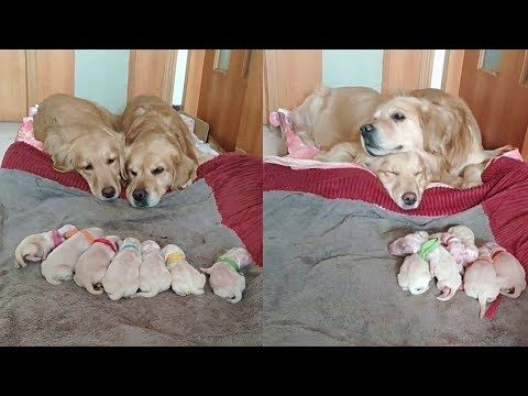 A Super Adorable Video Of A Family Of Golden Retrievers With Their