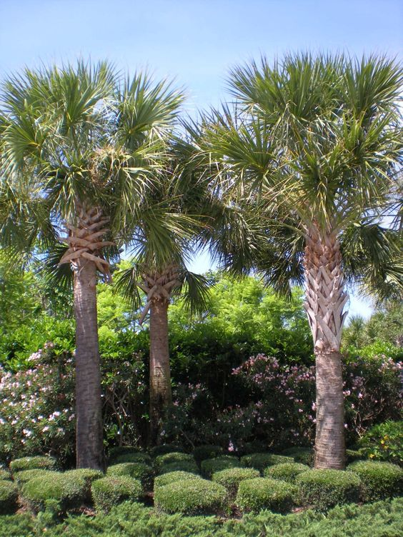 Durable Plants For The Garden: Another Cold-hardy And Very Durable Plam We Have Are The