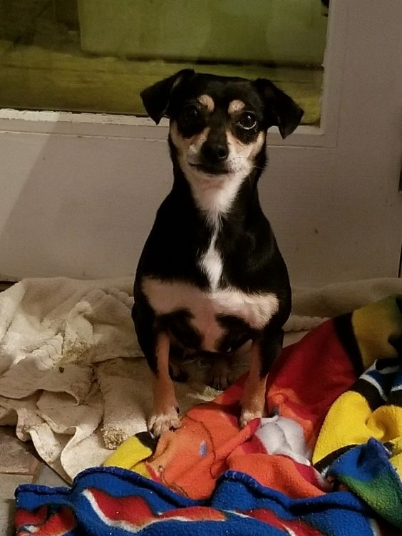 Chiweenie Dog For Adoption In Columbus Oh Adn 744896 On