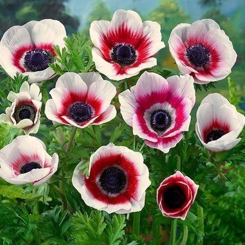 Anemone De Caen Bi Color Its Beauty Is Clearly Visible With Deep Red Centered Flowers And White Edging Anemones Thrive B Bulbous Plants Anemone Flower Anemone
