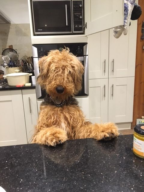 Pin By Pam Shackelford On Airedales Airedale Dogs Irish Terrier Animal Antics
