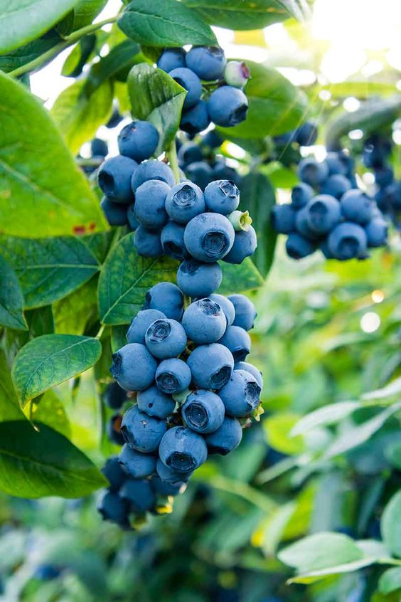 Growing blueberries doesn't have to be complicated. Learn how to grow blueberries and get the highest yield with this how-to.