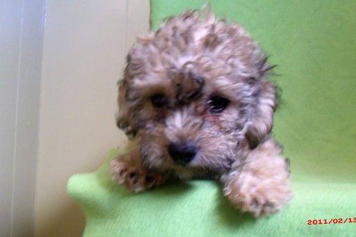 Zuchon Puppy For Sale In Paterson Nj Adn 20539 On Puppyfinder Com Gender Male Age 4 Months Old Zuchon Puppies For Sale