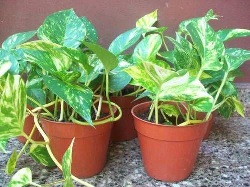 Plantas de interior beneficiosas otra planta de las mas - Plantas de interior que necesitan poca luz ...