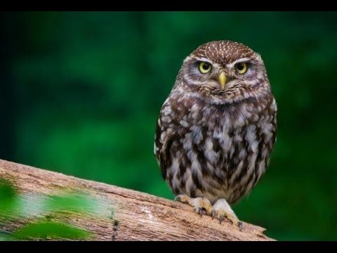 Little owls, Owl and W...