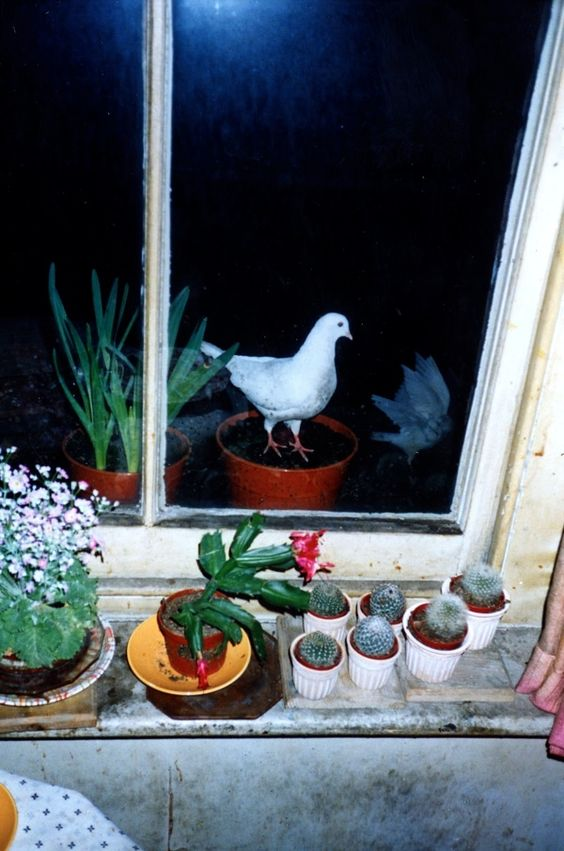 Clive Murphy : Neighbour's doves hoping to be fed, 16 March 1991.