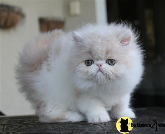 how to take care of a teacup persian kitten