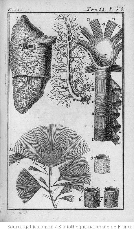 anatomie humaine - anatomie humaine Les poumons les muscles de l oesophage - Gravures, illustrations, dessins, images