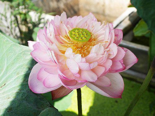 Sacred Lotus Crimson Law Nelumbo Nucifera บ วหลวง คร มซ น ลอฟ ส 26