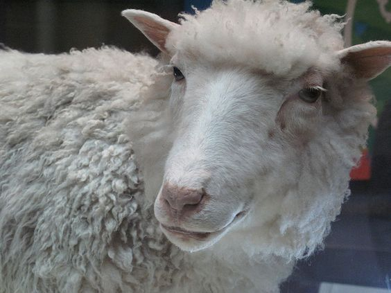#On the 22nd of February 1997, the world's first mammal ever to be cloned from an adult cell, Dolly the sheep, was announced to the world. This was hailed as one of the most significant scientific breakthroughs of the decade. How much do you know about this event? Test yourself with these trivia questions.
