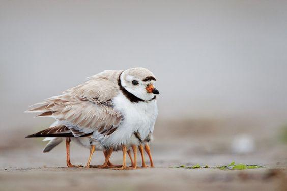 États-Unis Sur Plum Island, dans la Massachusetts, un pluvier siffleur gonfle son plumage pour remplir l'une de ses fonctions principales après l'éclosion de ses petits : couverture chauffante. Bien qu'ils soient capables de se nourrir tout seuls au bout de quelques heures, les oisillons ont besoin d'aide pour maintenir leur température corporelle.