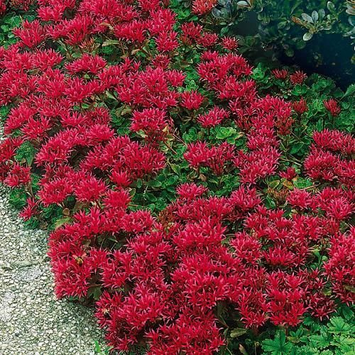 Sedum Summer Glory Seeds Sedum Spurium Stonecrop Ground Cover Seed Sedum Plant Flowers Perennials Ground Cover Seeds