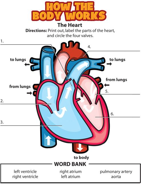 activities circulatory system and graphic organizers on pinterest : circulatory diagram quiz - findchart.co