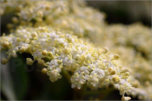 Holunder  -  elderberry blossom