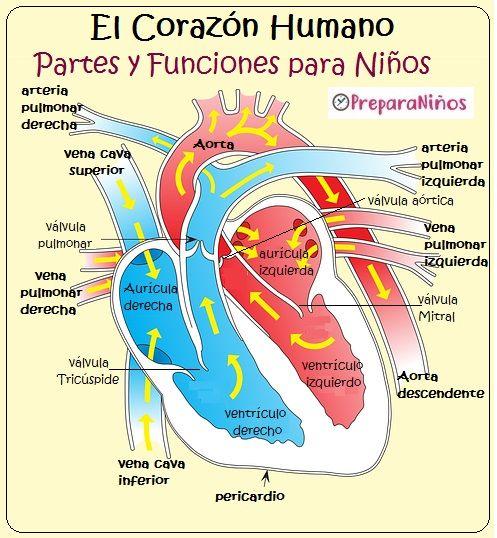 El Corazon Y Sus Partes Para Ninos Que Es El Corazon Y Como Funciona Cuerpo Humano Para Ninos Sistemas Del Cuerpo Humano Corazones