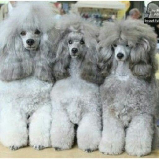 Gray Is The In Color This Year Poodle Dog Poodle Puppy