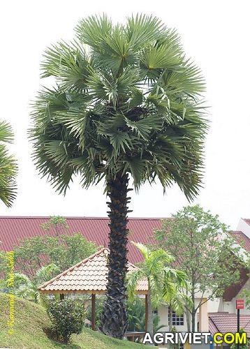 Cây thốt nốt biểu tượng của người Khmer