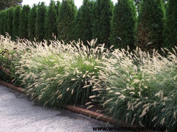 grasses and evergreen - original pin note: Pennisetum alopecuroides 'Hameln'
