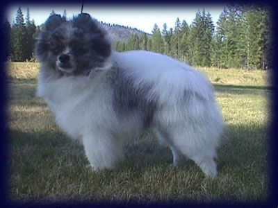 pictures of pomeranians   Welcome to Arcadian's Exotic Pomeranians!