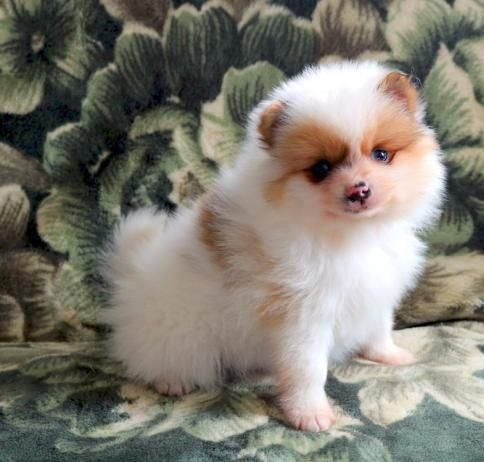 Pomeranian Puppies For Sale Adoption From New South Wales Adpost Com Classifieds Australia 136975 Pomeranian Puppy For Sale Pomeranian Puppy Pomeranian