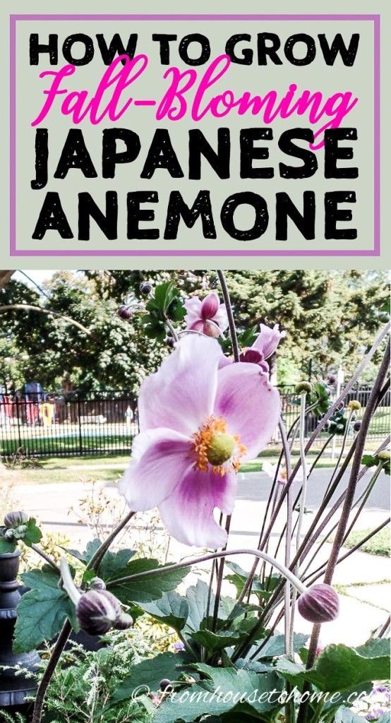 Japanese Anemones How To Grow And Care For These Fall Blooming Flowers Gardening From House To Home Japanese Anemone Fall Blooming Flowers Flowers Perennials