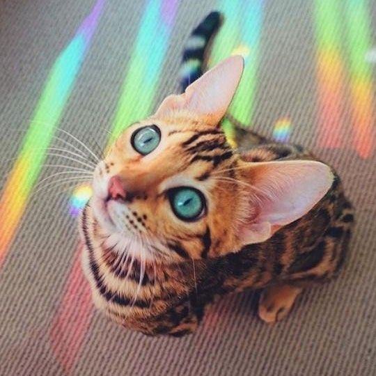 Beautiful Bengal Cat Cute Animals Rainbow Cat Kittens